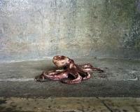 poulpe CORR 2 usm 150_1
